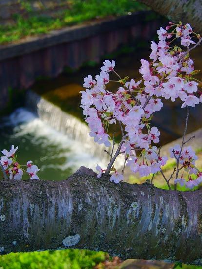 150402千本桜並木-6