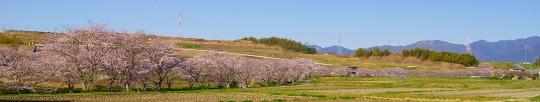 150402千本桜並木-7