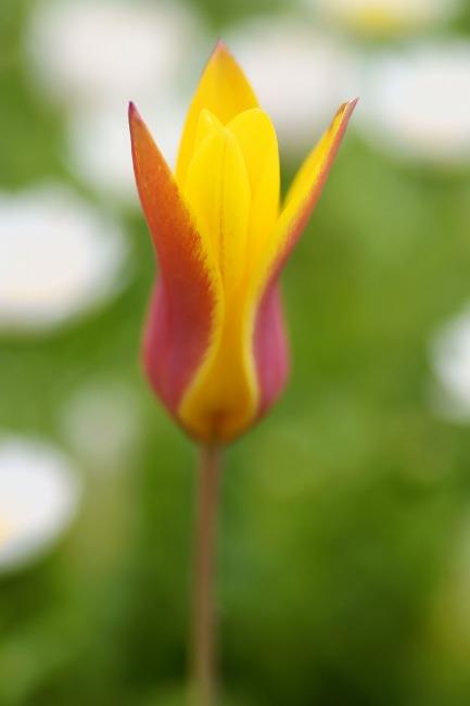 150409原種チューリップ-2