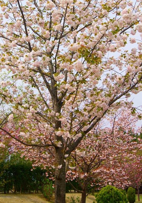150416菰野町庁舎八重桜