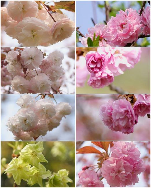 150416菰野町庁舎八重桜など