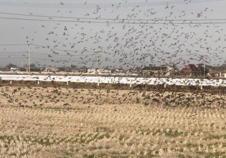 アトリの群れキセキレイカモメ 154