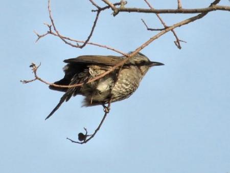 星野2と石丸公園の鳥マンサク 130