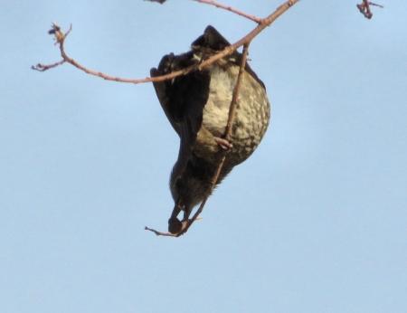 星野2と石丸公園の鳥マンサク 129