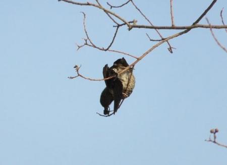星野2と石丸公園の鳥マンサク 127