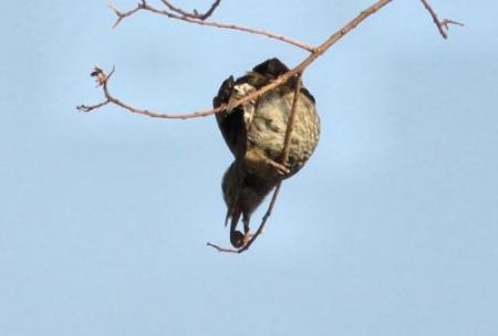星野2と石丸公園の鳥マンサク 128