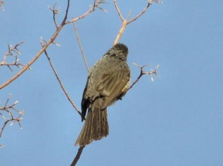 星野2と石丸公園の鳥マンサク 112
