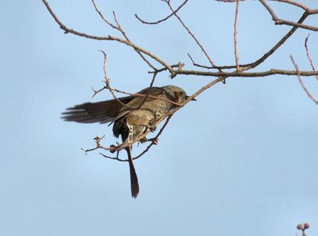 星野2と石丸公園の鳥マンサク 126