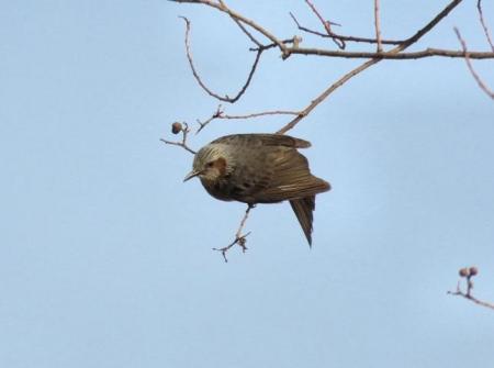星野2と石丸公園の鳥マンサク 125