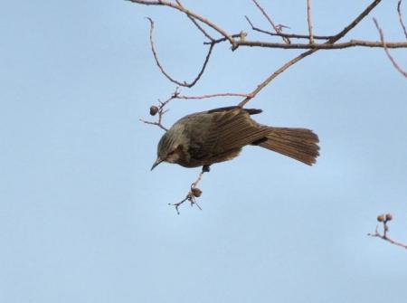 星野2と石丸公園の鳥マンサク 124