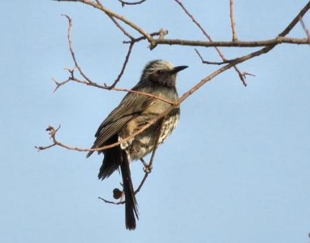 星野2と石丸公園の鳥マンサク 131