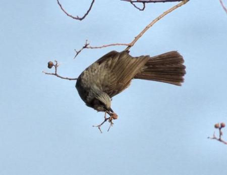 星野2と石丸公園の鳥マンサク 123