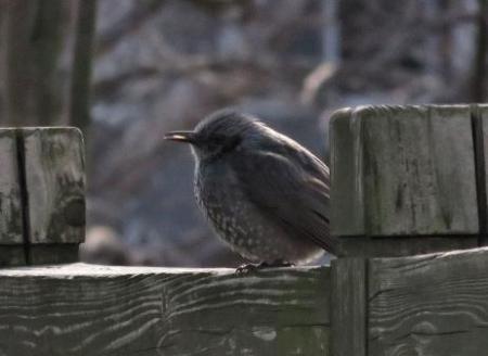 星野2と石丸公園の鳥マンサク 134