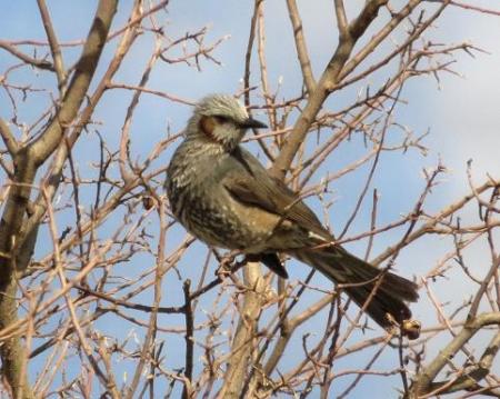 星野2と石丸公園の鳥マンサク 109