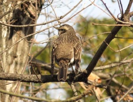 星野2と石丸公園の鳥マンサク 105