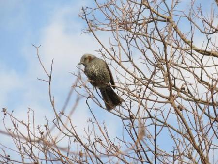 星野2と石丸公園の鳥マンサク 120