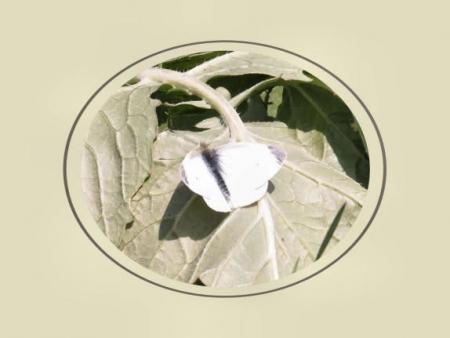 菜の花 024