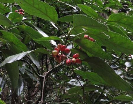 ホソバナコバイモ 130