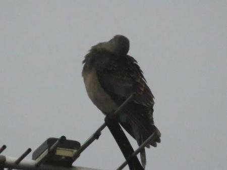 鳩春雨と 008