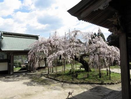 しだれ桜 020
