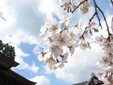 しだれ桜 138