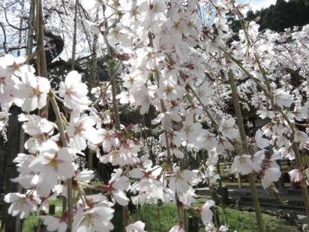 しだれ桜 089