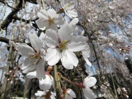 しだれ桜 144
