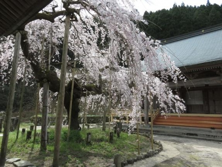 しだれ桜 079