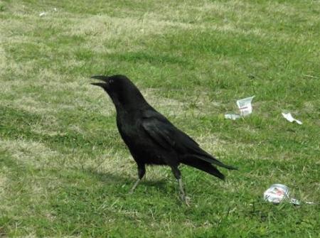 鳩の食事 040