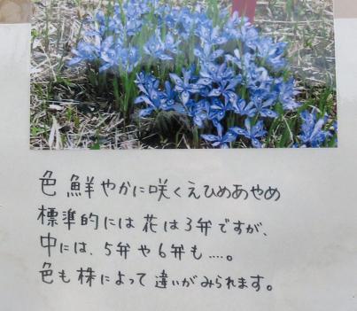 エヒメアヤメ 053