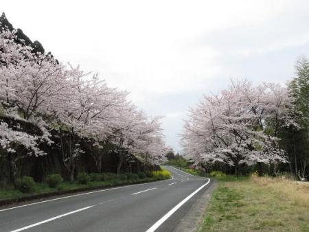 黒木の桜 018