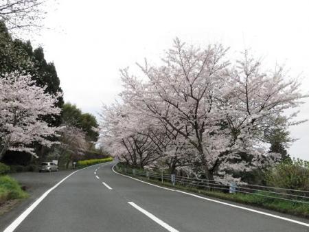 黒木の桜 014