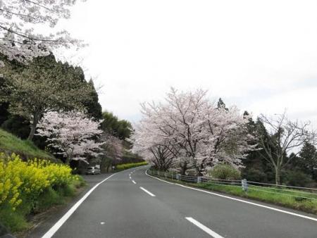 黒木の桜 012