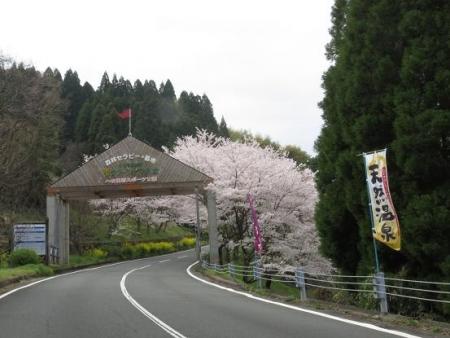 黒木の桜 007
