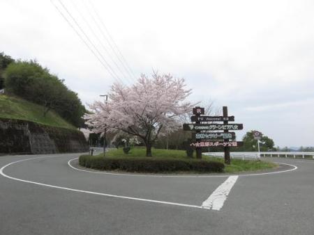黒木の桜 004