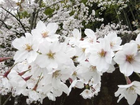 黒木の桜 023