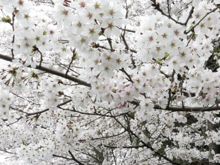 黒木の桜 024