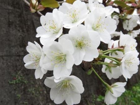 黒木の桜 022