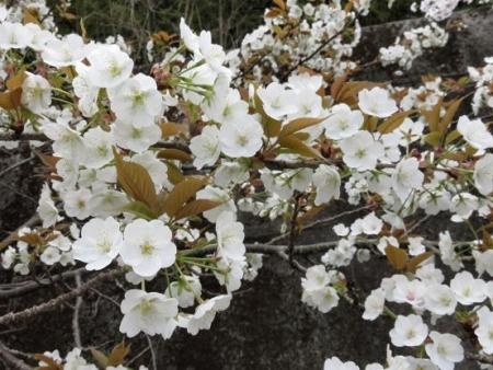 黒木の桜 021
