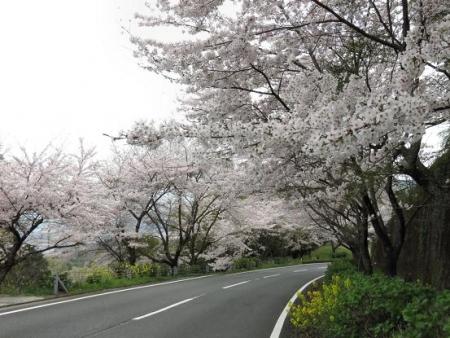 黒木の桜 019