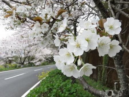 黒木の桜 020