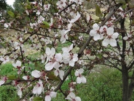黒木の桜 046