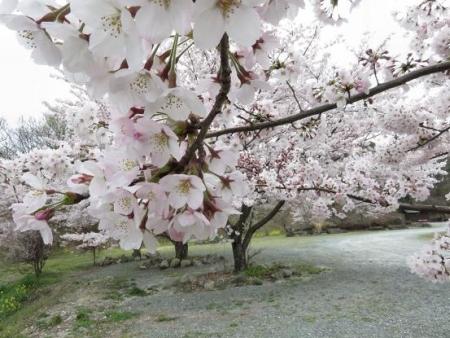 黒木の桜 042