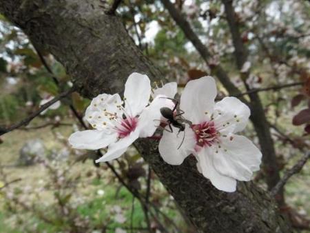 黒木の桜 043