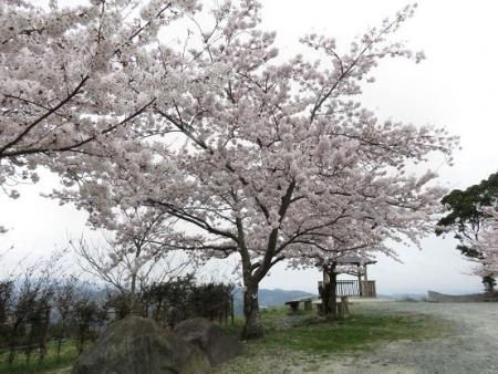 黒木の桜 028