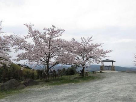 黒木の桜 029