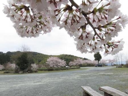 黒木の桜 058