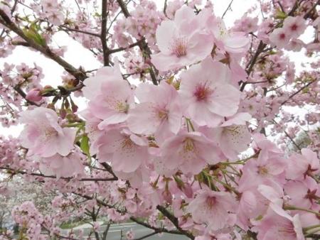 黒木の桜 065
