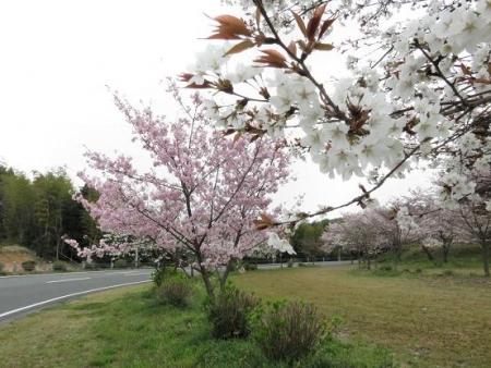 黒木の桜 062