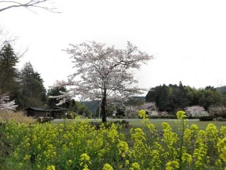 黒木の桜 055